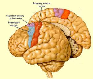Cerveau neurones moteurs